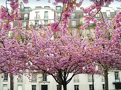 paris_street_cherry_tree