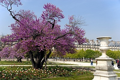 tulieries_garden_cherry_tree